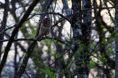 En marzo de 2017, el búho barrado, Strix Varia, se encaramó en un miembro de árbol en reserva federal de la fauna del botón calvo Foto de archivo