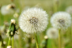En maskros blommar på en solig sommardag Royaltyfria Foton