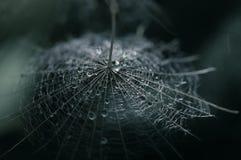 En maskros kärnar ur med en droppe av dagg på en mörk bakgrund Selektivt fokusera Fotografering för Bildbyråer