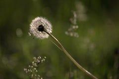 En maskros som har passerat dess blom Arkivfoton