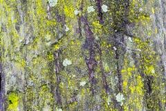 En masse couvert d'arbre de lichen Image libre de droits