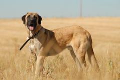 En mastiffhund Royaltyfri Fotografi