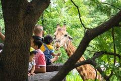 En matande grönsak för barn till giraffet på safari arkivfoton