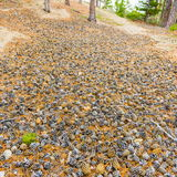 En matta av sörjer kottar i skogen arkivfoto