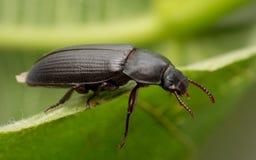 En Mealwormskalbagge fotografering för bildbyråer