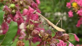 En medio de la naturaleza - un insecto de la mantis religiosa casi coge una mosca almacen de metraje de vídeo