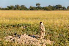 En Meerkat är på klockan royaltyfri foto