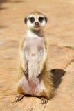 En meerkat Fotografering för Bildbyråer