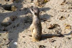 En meerkat i sanden Arkivbild