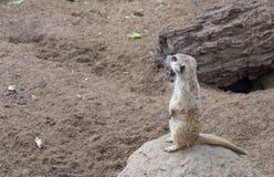 En Meerkat i zoo Royaltyfri Foto