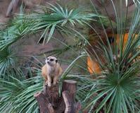 En Meerkat i zoo Arkivbilder