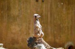 En meerkat på den Paignton zoo i Devon, UK Royaltyfri Fotografi