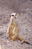 En Meerkat på flyttningen Royaltyfri Bild