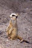 En Meerkat på flyttningen Arkivfoto