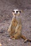 En Meerkat på flyttningen arkivbilder