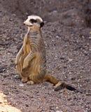 En Meerkat på flyttningen royaltyfria foton