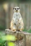 En meerkat som plattforer upprätt Arkivfoton