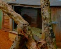En meerkat som sitter på en trädfilial arkivbilder