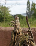 En Meerkat vaktpostvarning som ska varnas av fara Royaltyfria Bilder