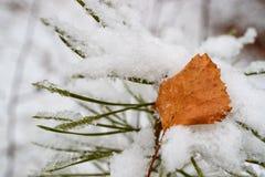 En mentiras nevosas de una rama del pino una hoja amarilla caida del otoño de un abedul Imagenes de archivo