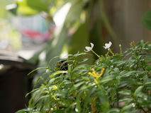 En mini- jasmin Royaltyfria Bilder