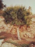 En mitt - östligt träd Arkivbilder