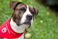 En mixedbreed hund som donerar blod arkivbild