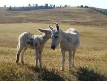 En moder och att behandla som ett barn burroen i f?ltet i Custer State Park royaltyfria foton
