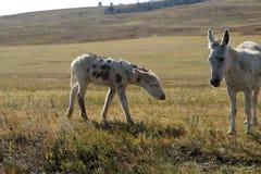 En moder och att behandla som ett barn burroen i f?ltet i Custer State Park arkivbilder