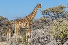 En modergiraffGiraffa Camelopardalis med två behandla som ett barn, den Etosha nationalparken, Namibia royaltyfria bilder