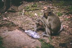 En modermacaque och henne att behandla som ett barn att sitta nära templen av Angkor Wat i Cambodja royaltyfri foto