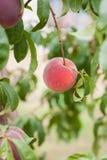 En mogen persika som är klar för val, vertikal riktning fotografering för bildbyråer