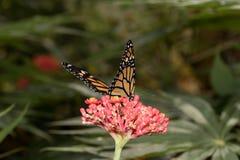 En monark stapplar med halvöppna vingar som sitter på ett tropiskt blommahuvud royaltyfria bilder