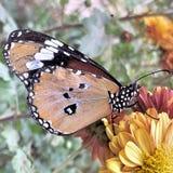En monarkfjäril Royaltyfria Foton