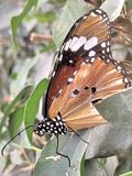 En monarkfjäril arkivbild