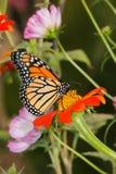 Monarkfjäril royaltyfri fotografi