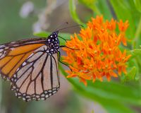 En monarkfjäril på härliga orange vildblommor i området för Crexängdjurliv i nordliga Wisconsin royaltyfri fotografi