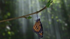 En monarkfjäril som dyker upp från puppa i dramatiska trän lager videofilmer
