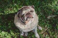 En mopshund sitter i strålen arkivfoto