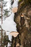 En mossig stam med Polypore svampar under snölock Arkivfoton