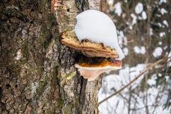 En mossig stam med Polypore svampar under snölock Royaltyfria Bilder