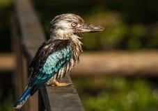 En Muddy Blått-påskyndad skrattfågel royaltyfri fotografi