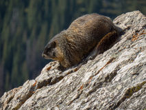 En murmeldjur sitter på en vagga på den kontinentala skiljelinjen i Colorado Arkivbild