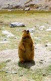 En murmeldjur som står upprätt på dess bakre ben Fotografering för Bildbyråer
