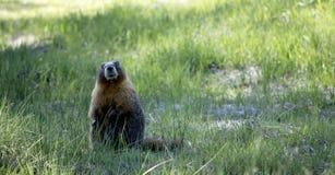 En murmeldjurgranskning är territoriet Royaltyfri Fotografi