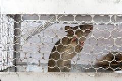En mus i en bur Arkivbild