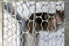 En mus i en bur Arkivfoton
