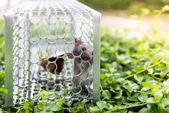 En mus i en bur Arkivbilder