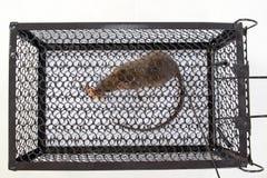 En mus i buren royaltyfria bilder