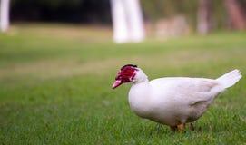 En Muscovy Duck Walking Through Grass Royaltyfri Foto